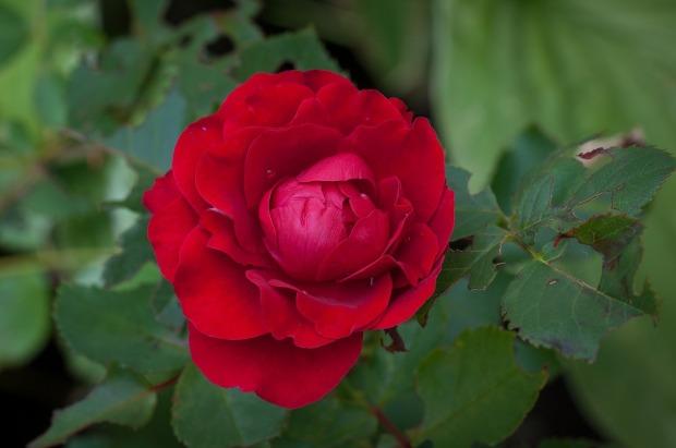 rose-1425831_1280