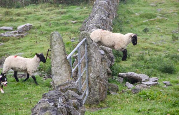 sheep-981881_1920.jpg